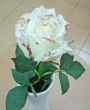 Fresh White Glittered Chinese Rose A to Add To Order