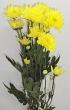 Fresh Yellow Chrysanthemum Stem for Create-A-Bouquet